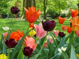trees, Lawn, color, viewes, Tulips