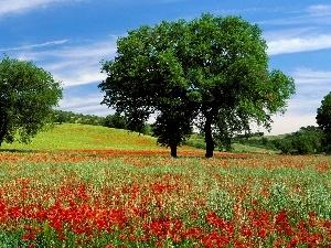 trees, papavers, Meadow, viewes, Flowers