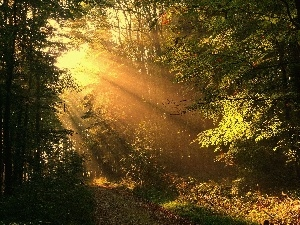 trees, forest, rays, viewes, sun