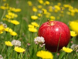 trefoil, grass, Meadow, dandelions, Apple