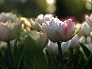 Tulips, flakes, white and Pink