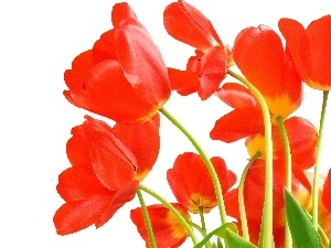 developed, Tulips, Red
