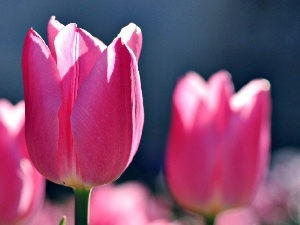 Tulips, Pink