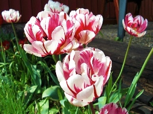 Pink, Tulips, white