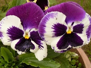 pansies, Two cars