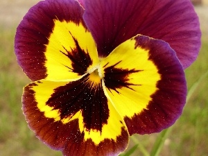 pansy, Two-tone