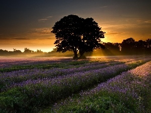 viewes, trees, west, Narrow-Leaf Lavender, sun