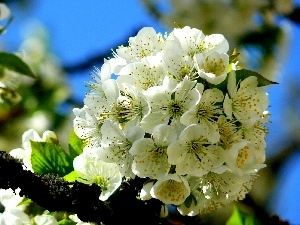 viewes, trees, White, fruit, Flowers