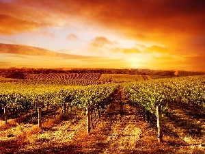 sun, vineyard, west
