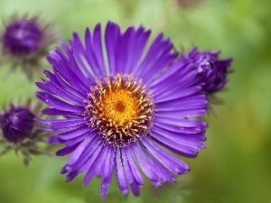 Violet, Aster, Colourfull Flowers