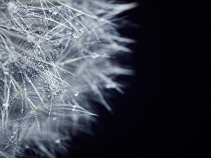 drops, water, dandelion