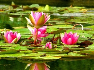 water, lilies
