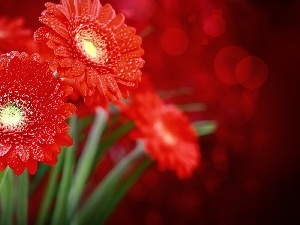 water, drops, Red, gerberas