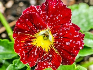 water, drops, Red, pansy