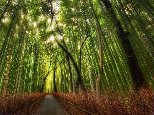 forest, Way, bamboo