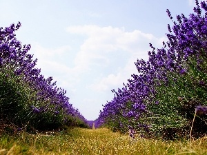 lavender, Way, Field