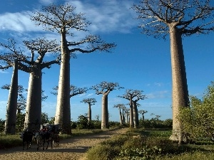 Way, Baobabs, trees, wagon, viewes