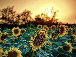 west, sun, Nice sunflowers