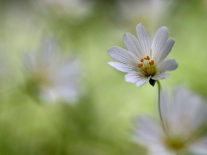 White, Colourfull Flowers, Cerastium