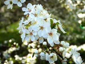White, fruit, flourishing, Flowers, trees