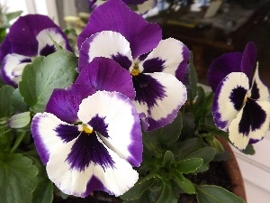 White, purple, Flowers, pansies