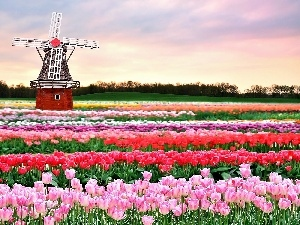 Tulips, Windmill, Field