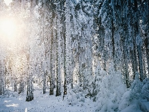 winter, sun, forest, rays
