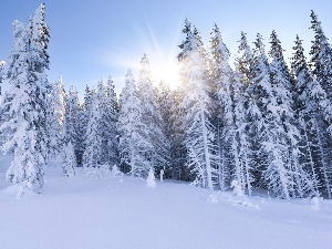 winter, forest, rays, sun