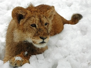 snow, winter, Lion