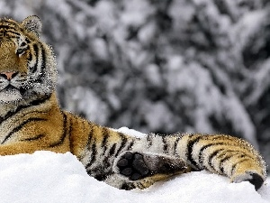 winter, tiger