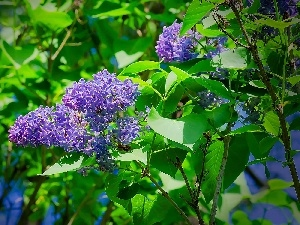 lilac, without, Flowers