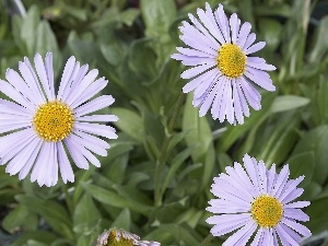 Yellow, Alpine aster, White