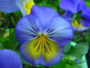 blue, Yellow, pansy