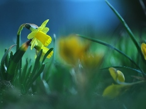 Yellow, Colourfull Flowers, jonquil