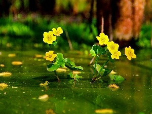 Yellow, Flowers, marigolds Mud