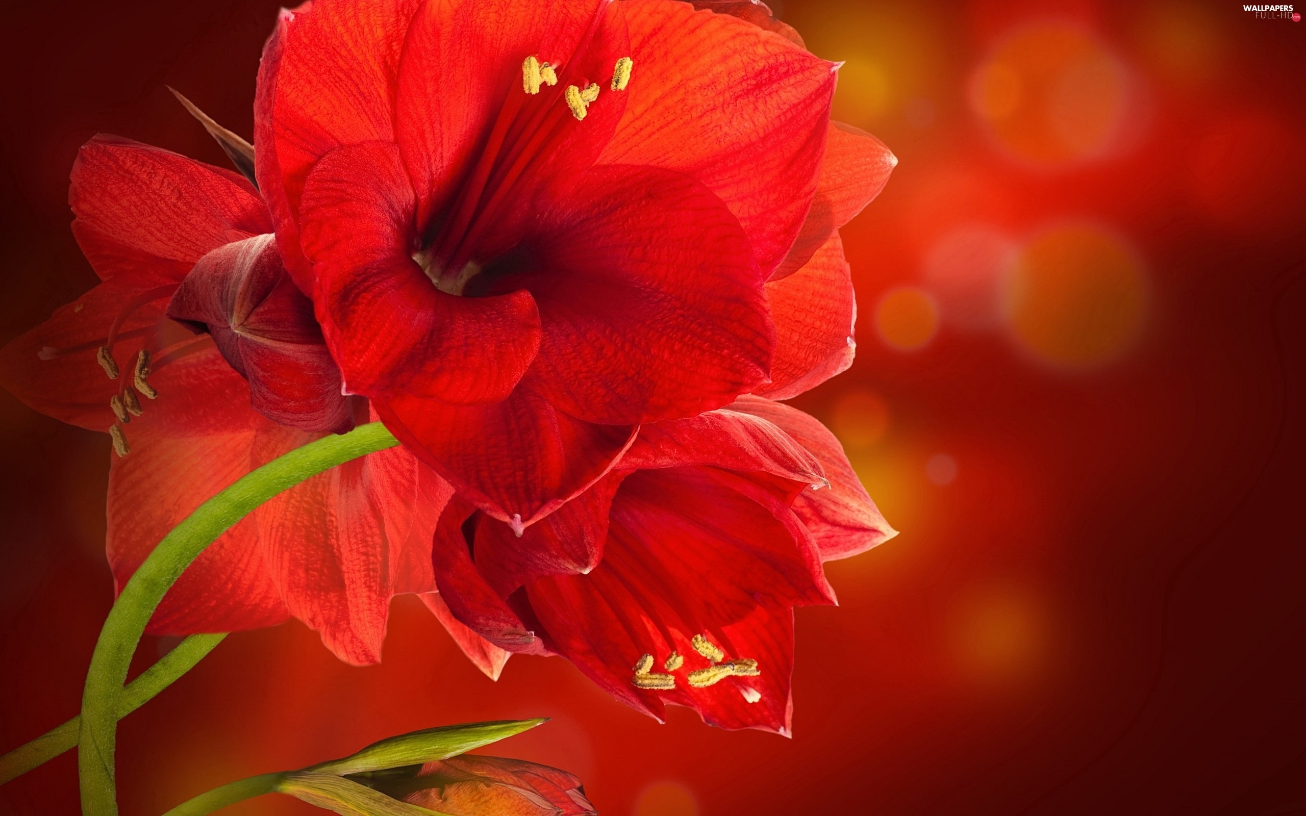 amaryllis, Red