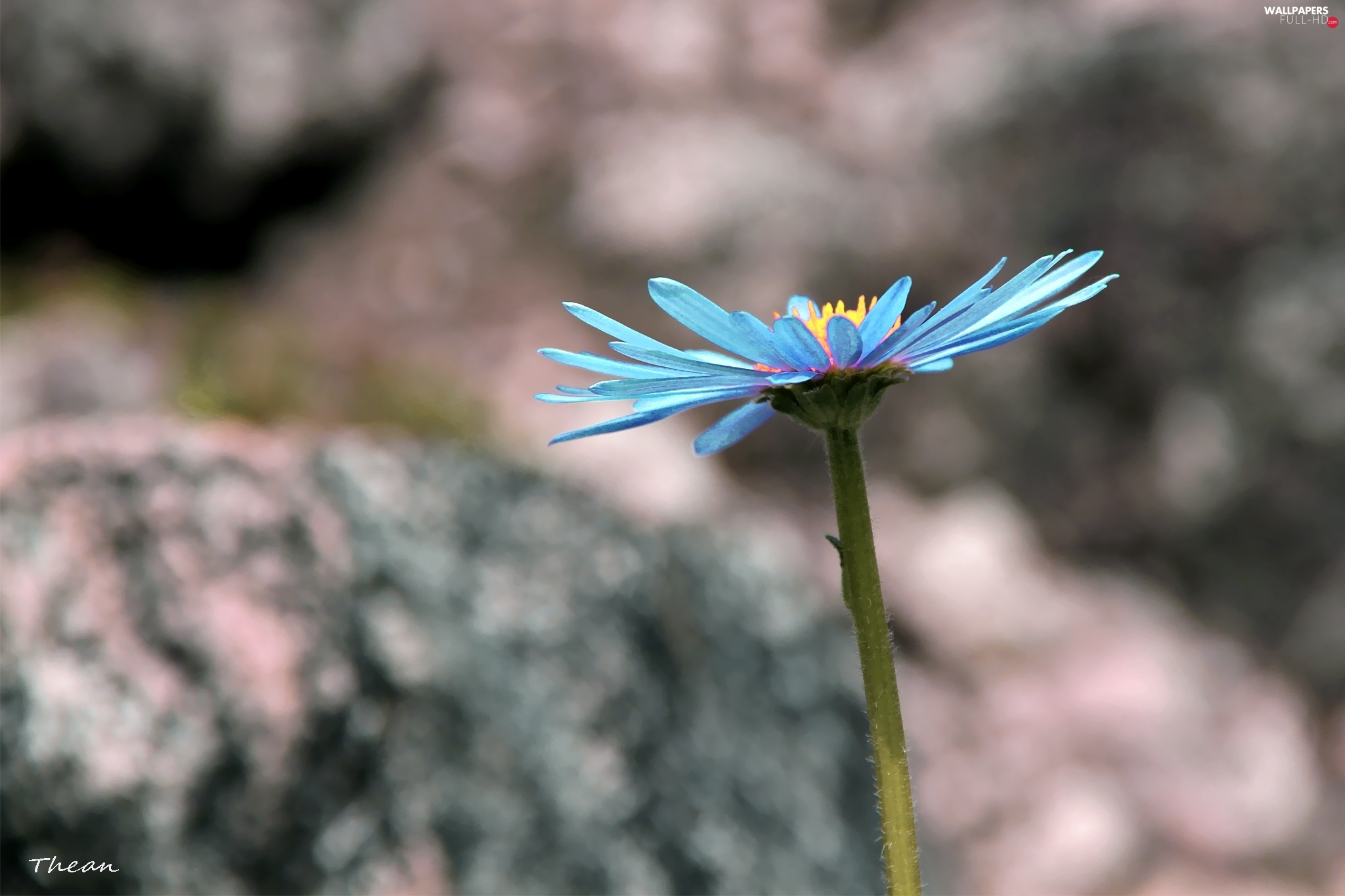 Aster, blue