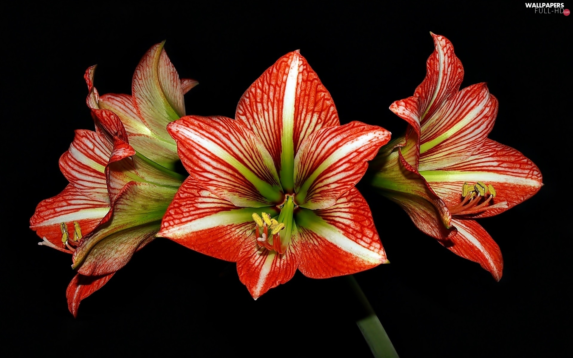 background, Black, amaryllis, Red