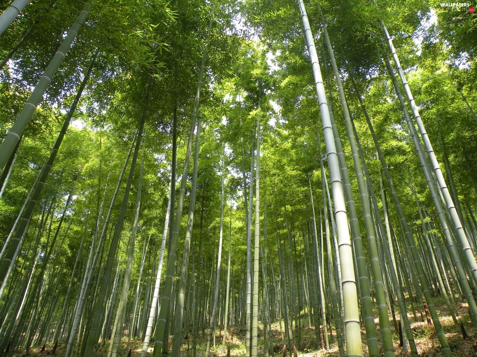 bamboo, forest