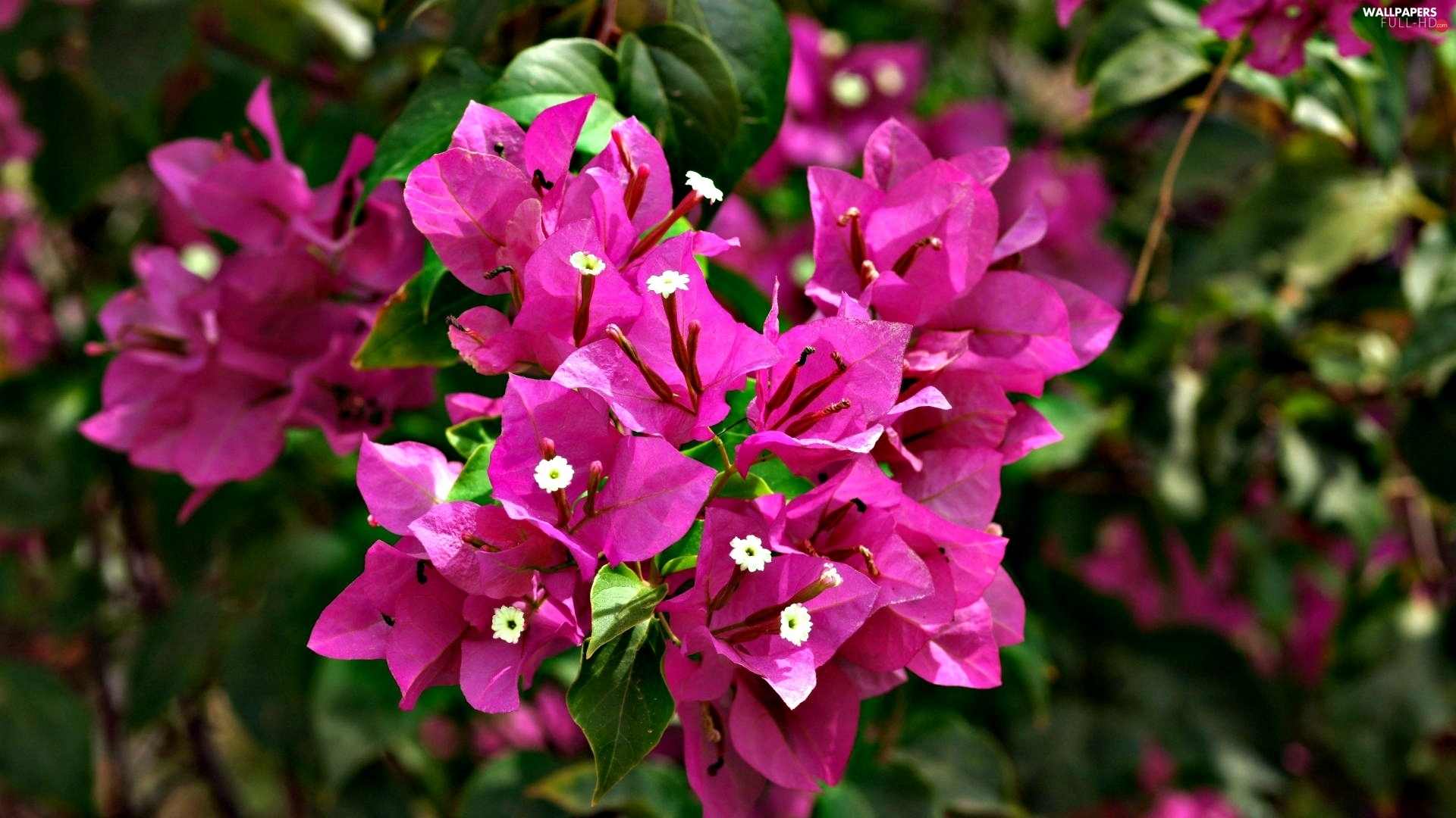 Blossoming, Bougainvillea