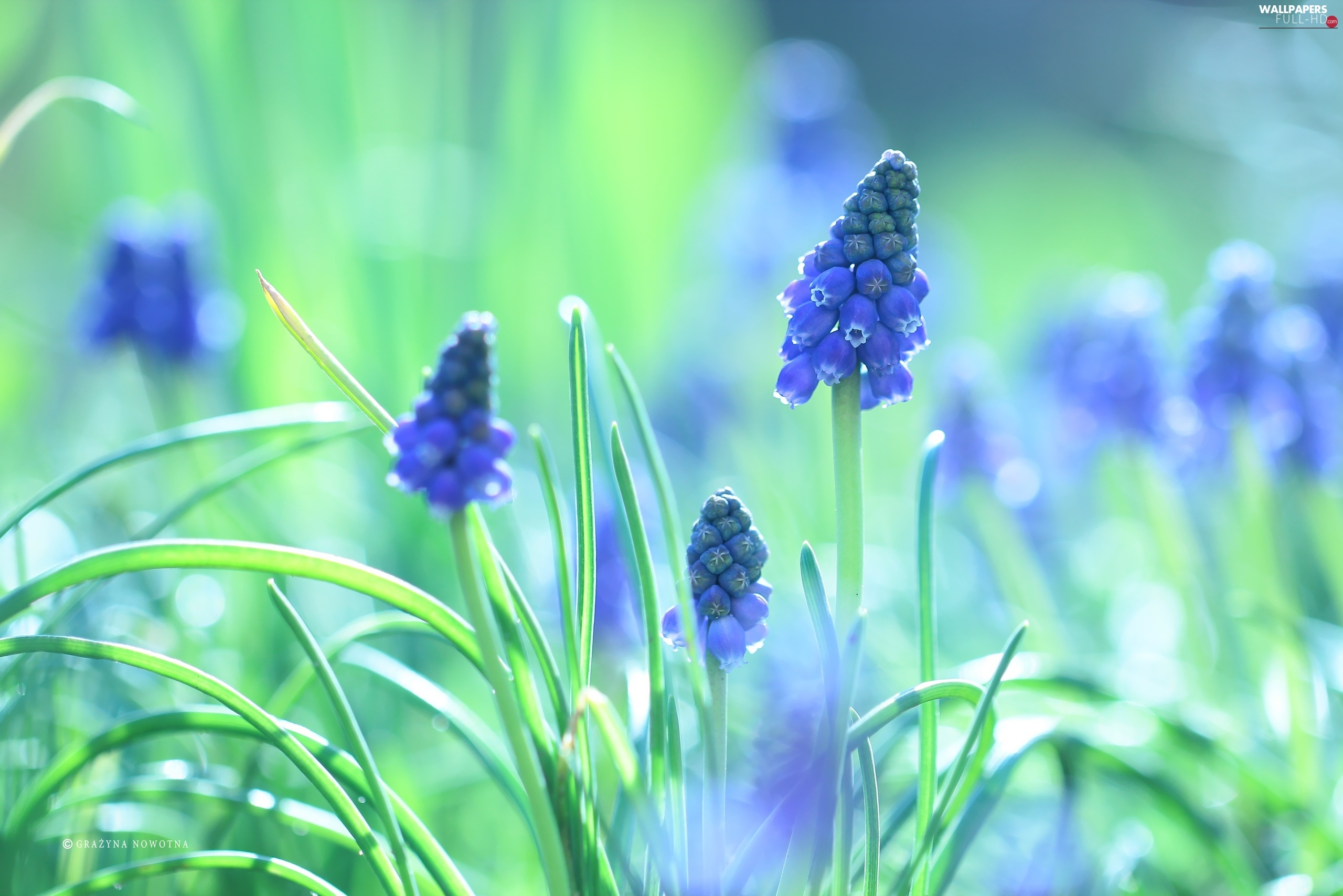 blue, Colourfull Flowers, Muscari