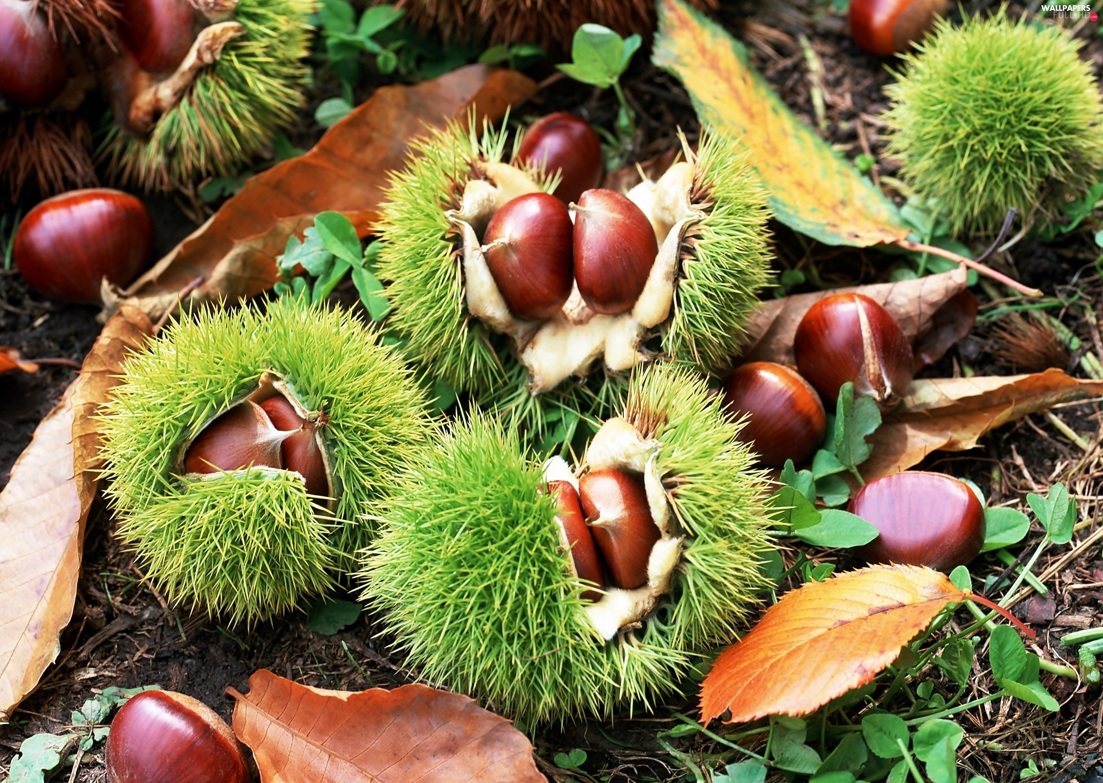blur, Leaf, chestnuts, husks