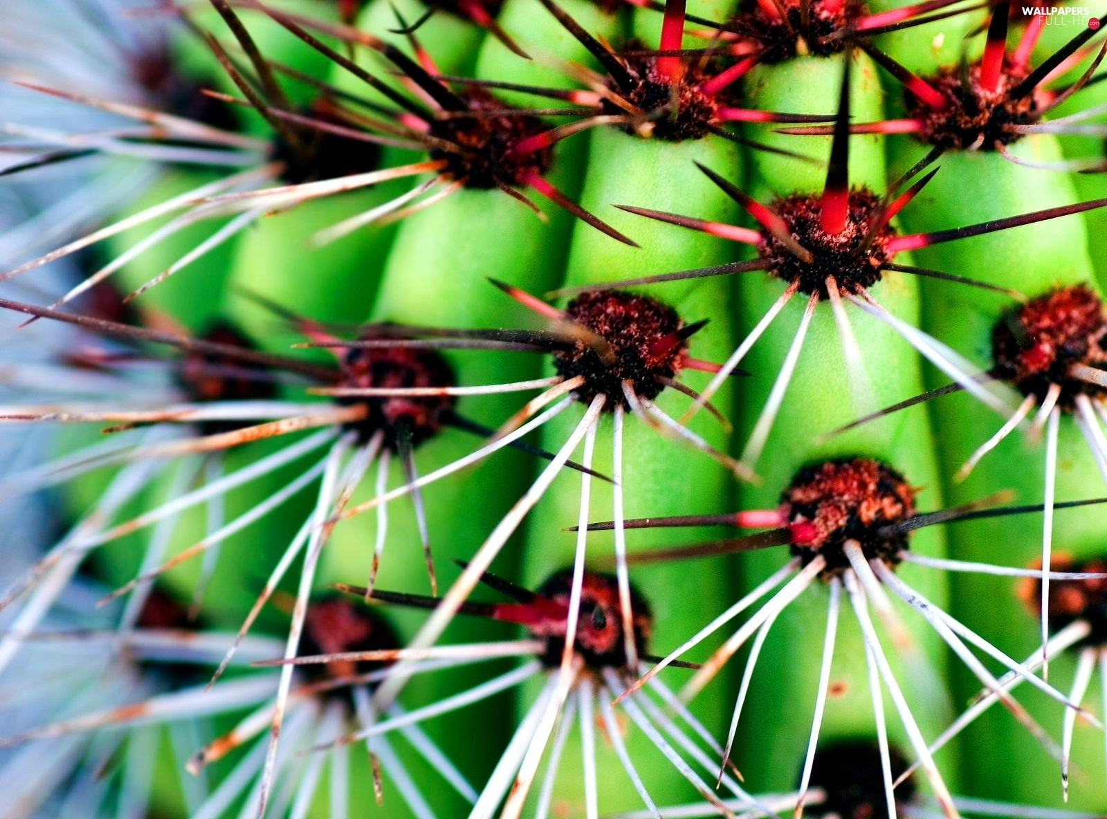 Spikes, cactus, Red