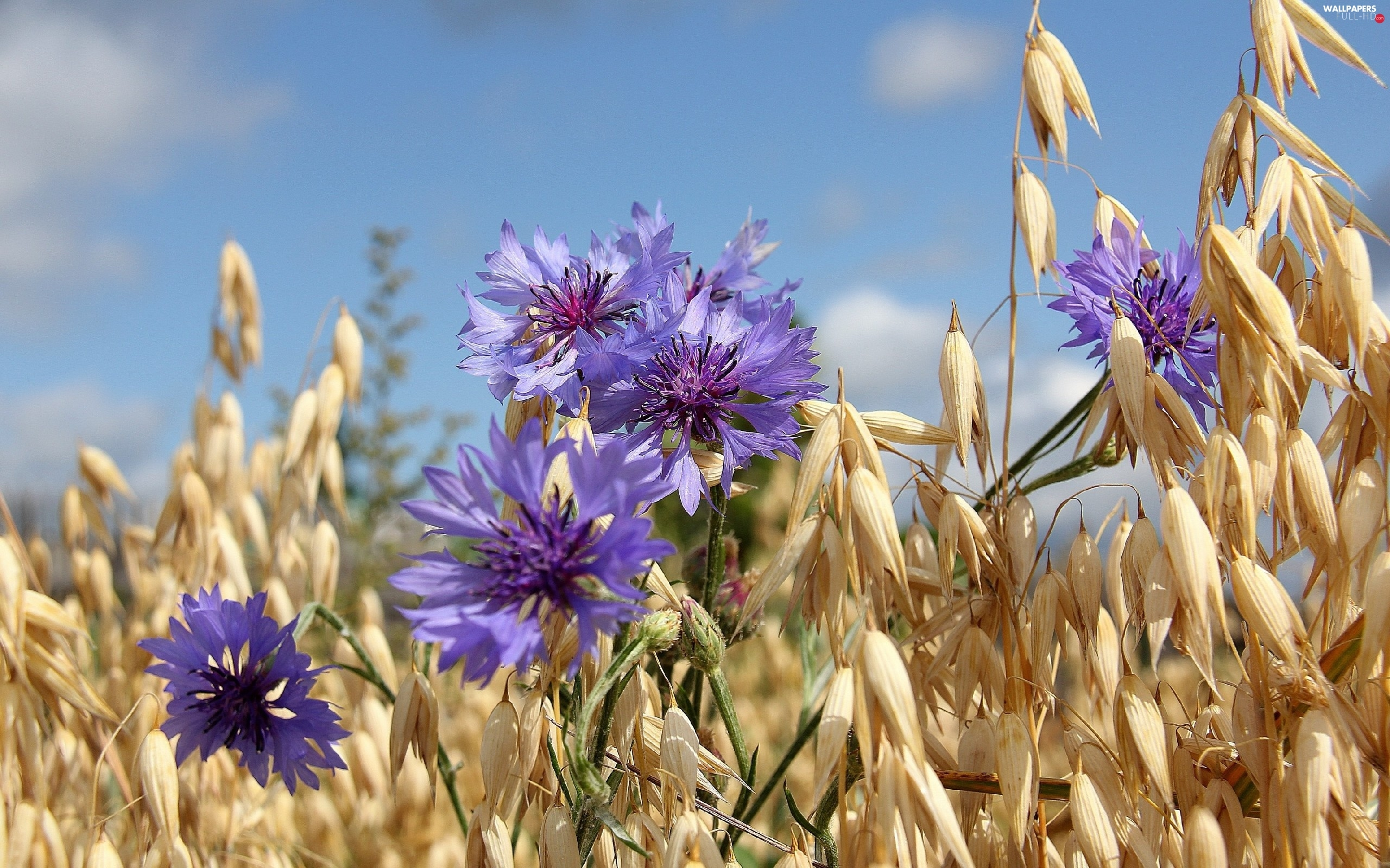 Ears, cereals, cornflowers