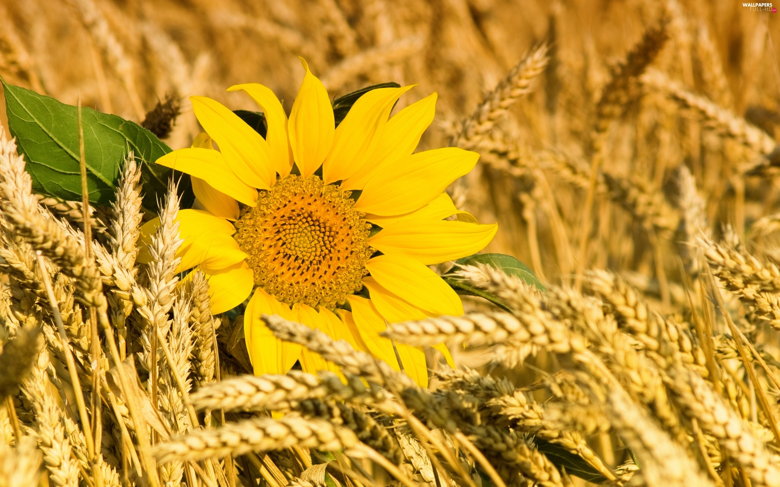 cereals, Sunflower