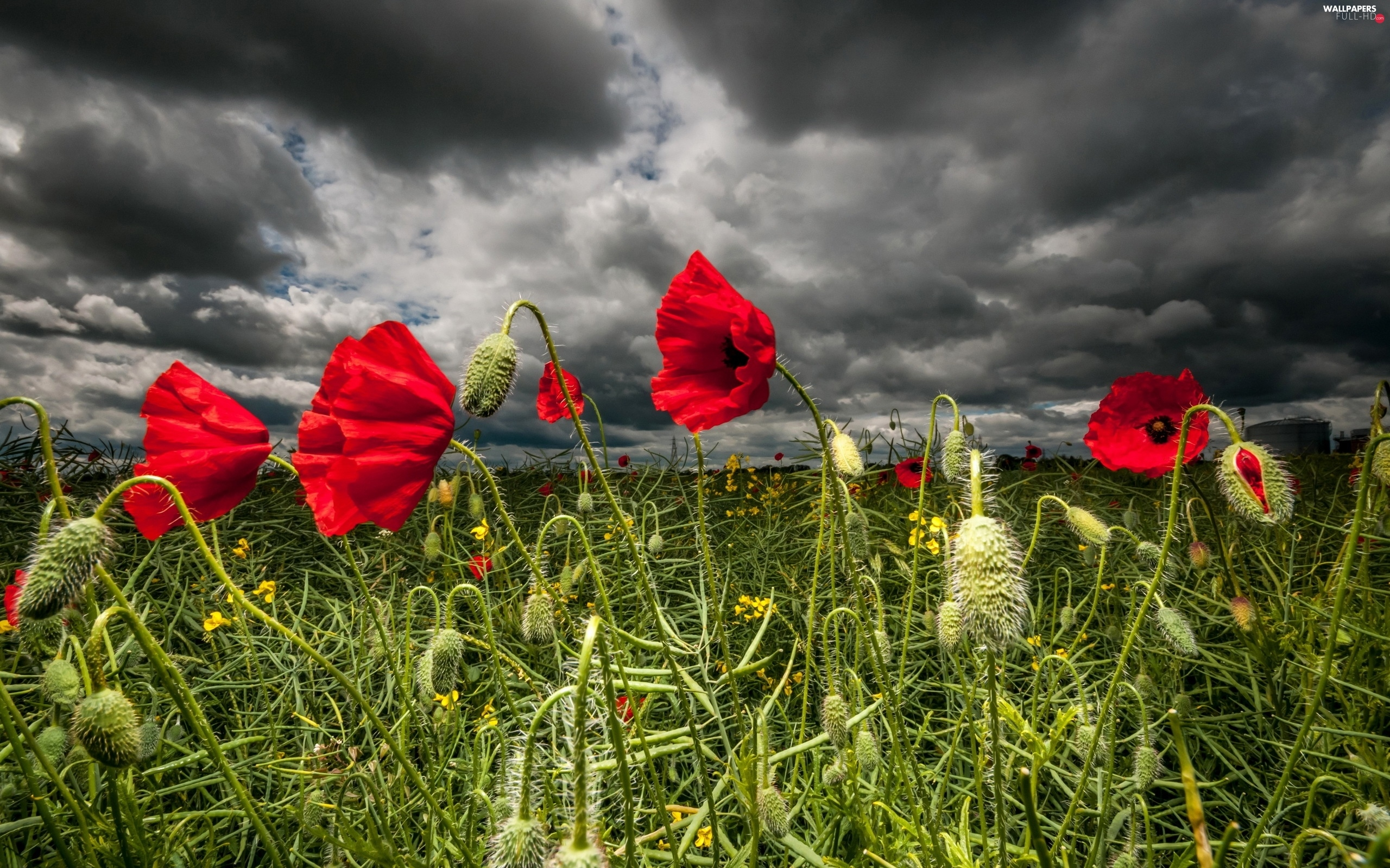 papavers, clouds, Red