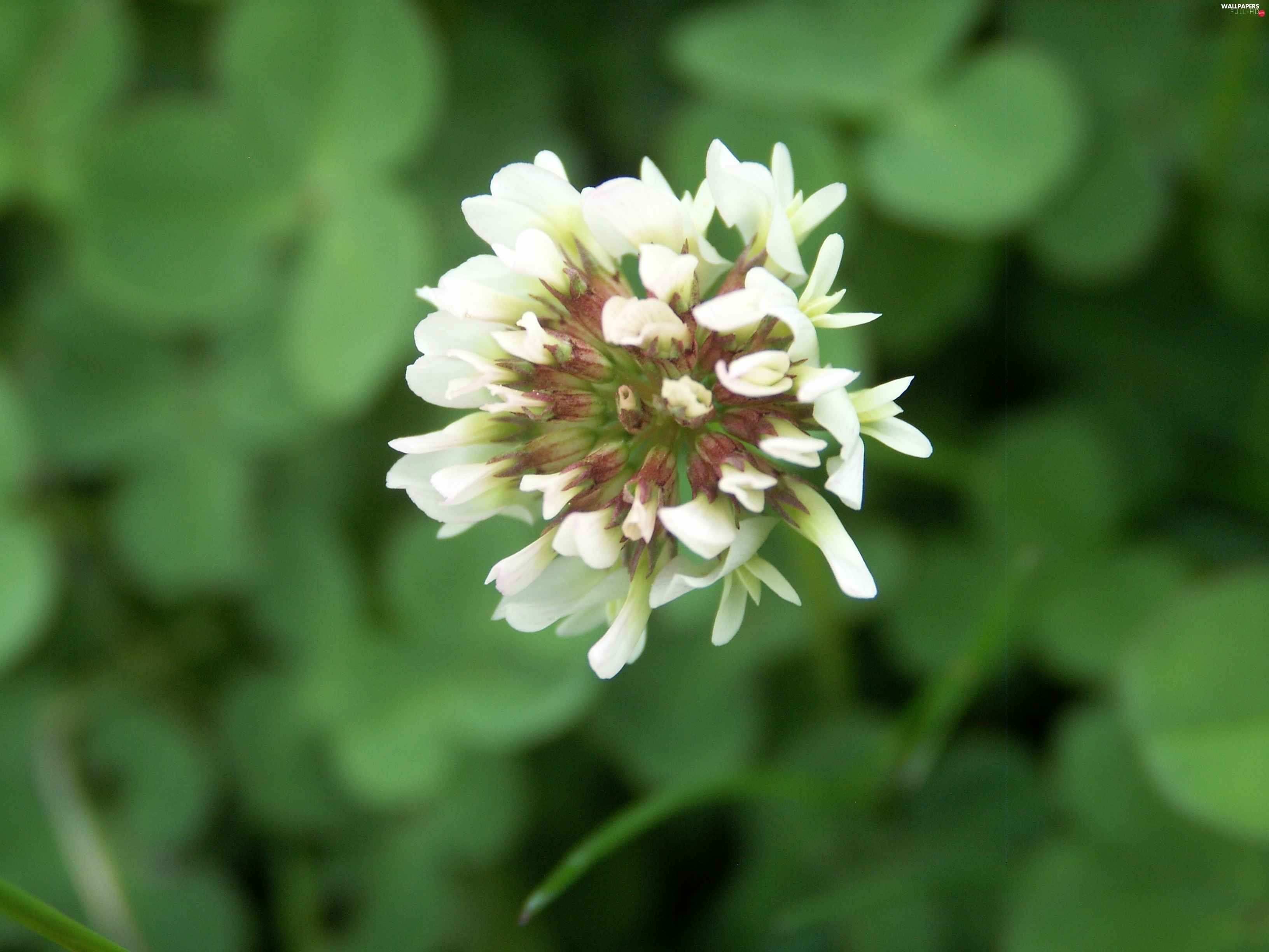 clover, Colourfull Flowers