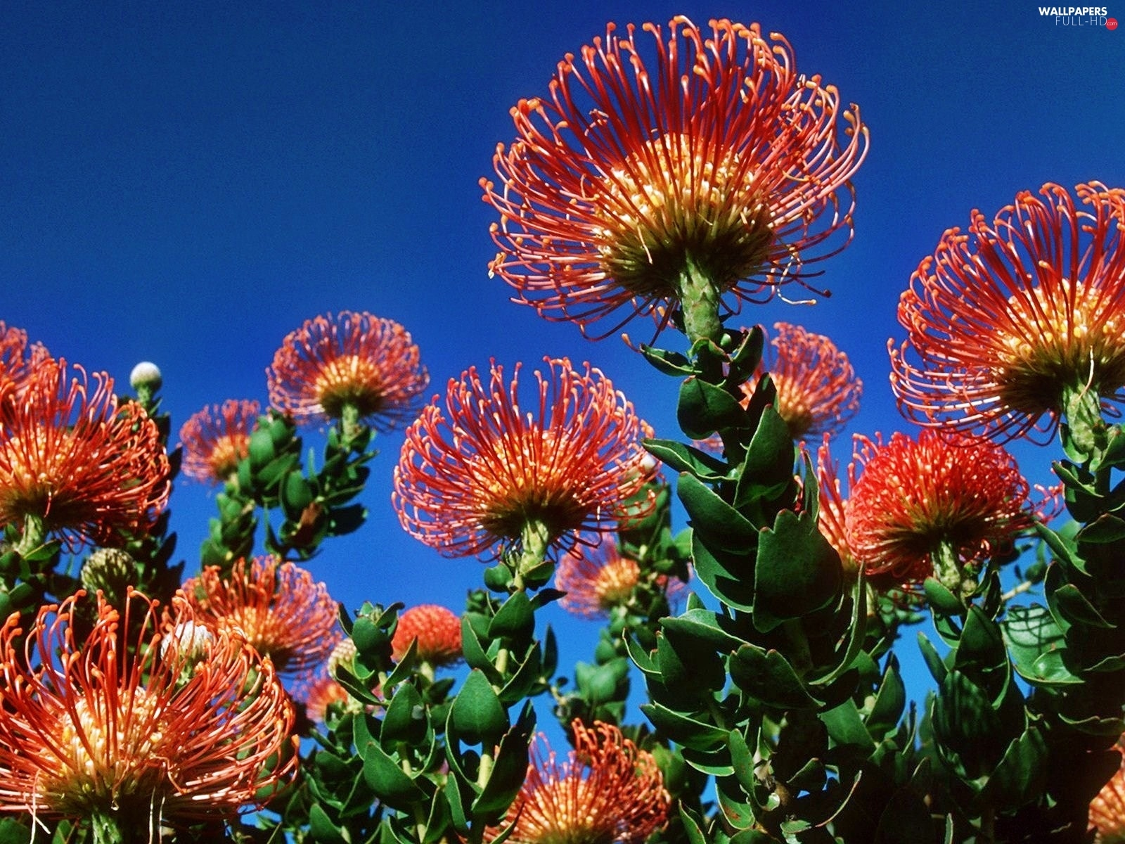 Colourfull Flowers, Protea, exotic