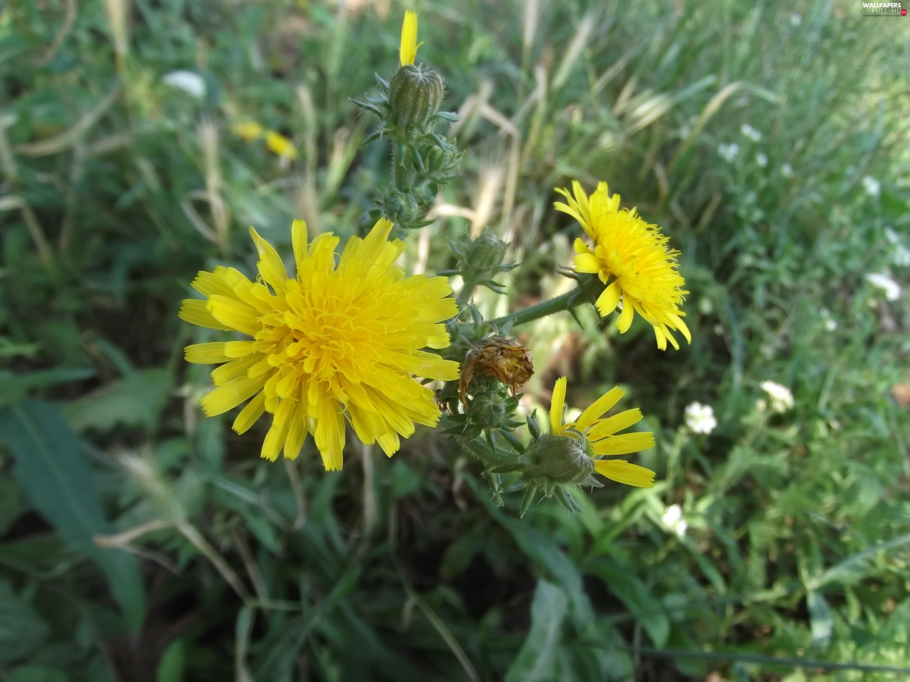 Common Dandelion, green, sow-thistle, Flowers