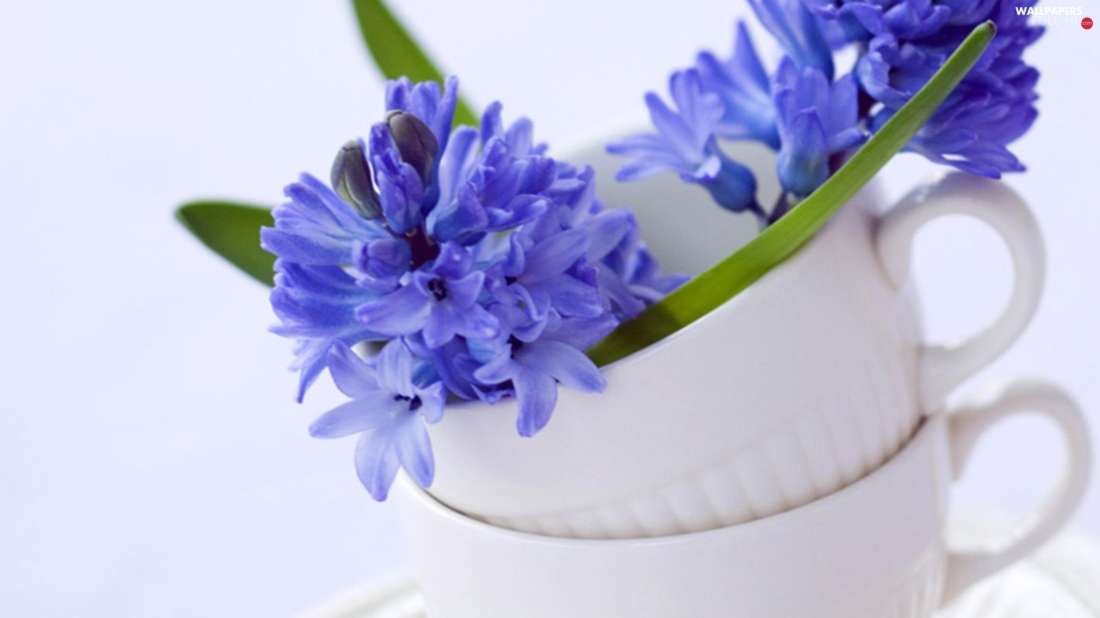Two, cups, Hyacinths